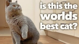 British Shorthair Cat Review after 5 years:  The worlds best cat? (OFFICIAL VIDEO)