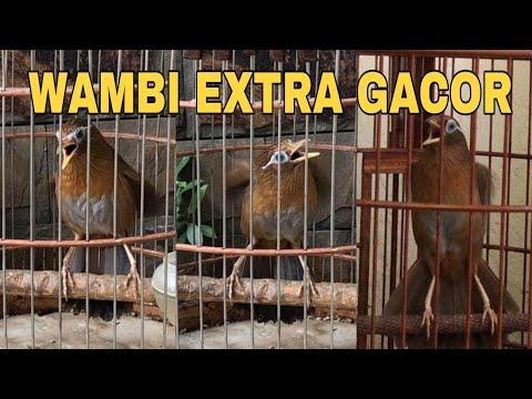 Burung HWAMEI WAMBI Ngamuk EXTRA GACOR Cocok Untuk SUARA MASTERAN Dan suara PANGGILAN wambi BETINA