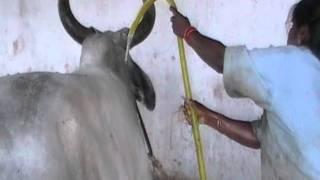 kankrej in tamilnadu Arunprasath farm3