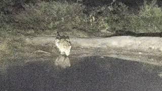 Djuma: Tingana male leopard sawing before arrives - 06/03/18 thumbnail