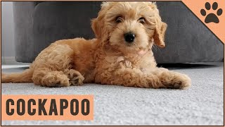 Cockapoo  Why Get A Cockapoo?