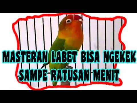 Masteran Labet/Lovebird Dahsyat Ngekek Panjang Bisa Ratusan Menit