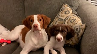 Do Brittany Spaniels Make Good House Pets?