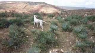 Pointer chasse maroc
