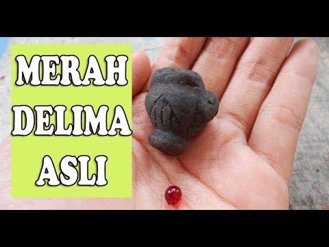 asli MERAH DELIMA kegunaan dan khasiatnya