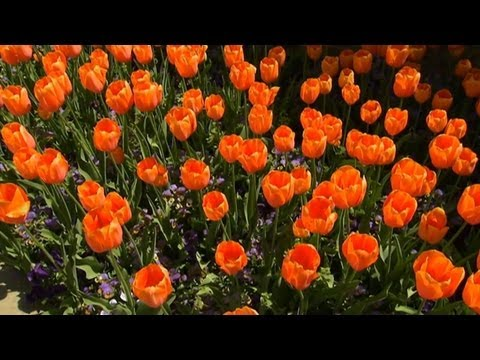 Planting Tulips in the Fall   P. Allen Smith Classics