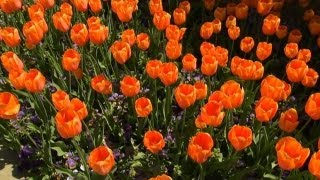 Planting Tulips in the Fall | P. Allen Smith Classics