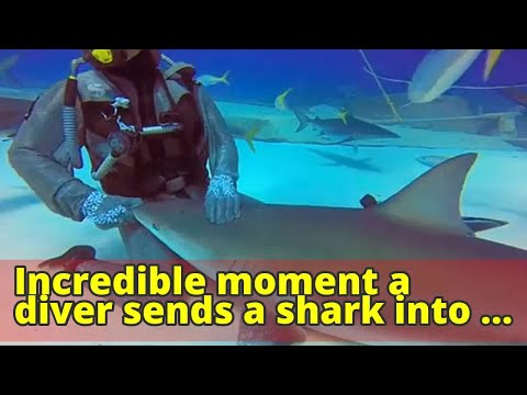 Incredible moment a diver sends a shark into a trance-like state and strokes it like a puppy in the