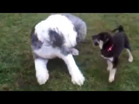 Husky Lab Mix Puppy Plays With Old English Sheepdog Youtube