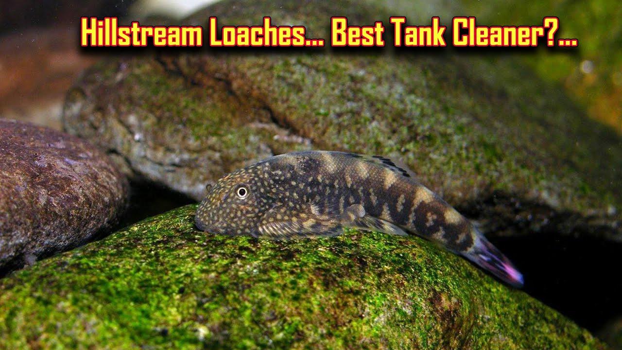 HillStream Loaches பற்றி தெரிஞ்சிகோங்க... Best Tank cleaner fish algae eating  / Fish Aquarium Tamil