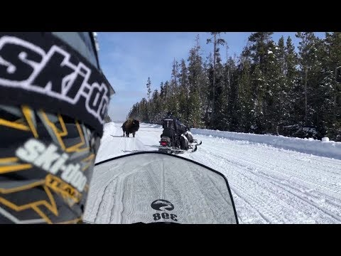 Tense moments as Yellowstone Bison charges snowmobilers on 3/3/19