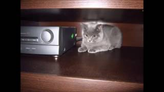 Британский кот Бостон 5 месяцев !