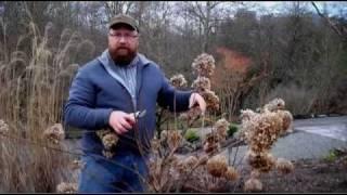 Gardening tips: Pruning Hydrangea Paniculata