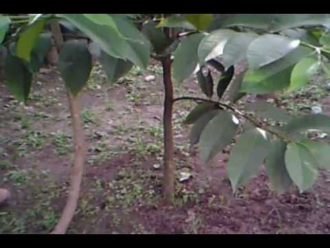 Cacahoatan chis vivero de rambut n mangost n y caf youtube for Viveros de plantas en renca