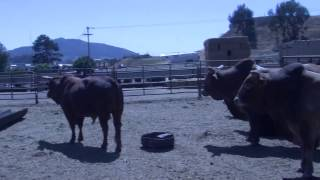 Cal Poly's 75th Annual Rodeo