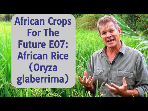 African Crops For The Future E07: African Rice (Oryza glaberrima)