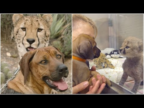 A Dog & cheetah truly represent an embodiment of the phrase best friends forever