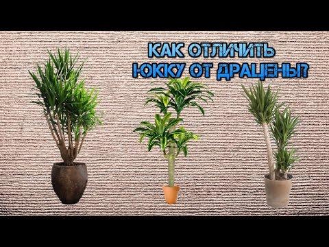 Драцена или юкка. Как отличить эти растения?