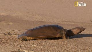 Le trionyx, une tortue étonnante