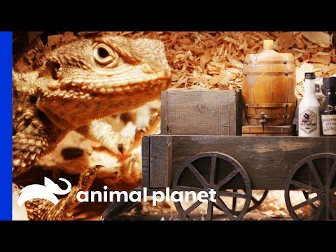 Building An Incredible Wild West Enclosure for Painted Agamas | Scaled
