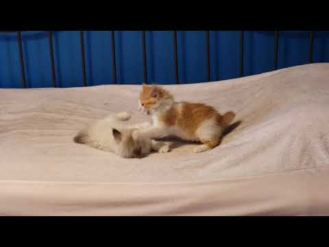 Manx kittens play fighting