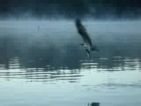 Osprey Pulls Trout Out Of Water