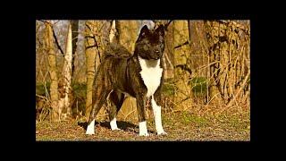 秋田は大胆で意地悪な犬で、見知らぬ人を自然に警戒しますが、家族には...