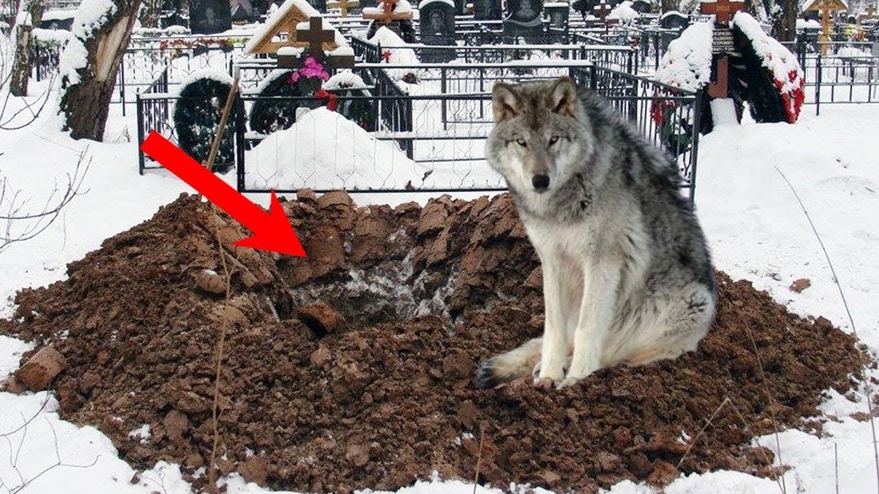 هذا الذئب العجوز حفر قبر حديث أمام الجميع ، واخرج شيئ اذهل الجميع