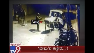 Miscreants Theft 'Cattle' & Mercilessly Taken into Sumo | Owners Cry Cow Theft | No Action by Cops