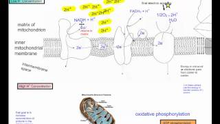 Cellular Respiration Part 5   The Electron Transport Chain IB Biology