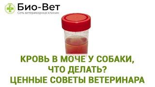 Кровь в моче у собаки, что делать? Ценные советы ветеринара. Ветеринарная клиника Био-Вет.