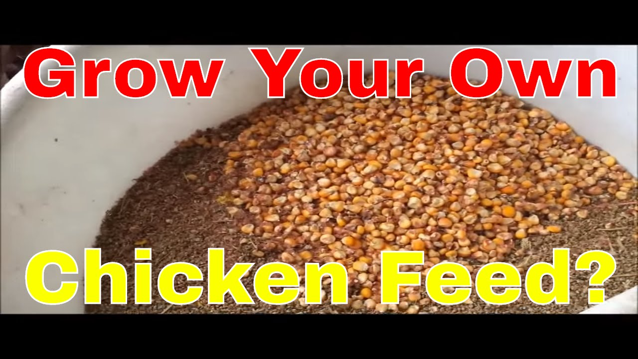 Grow Your Own Chicken Feed Youtube