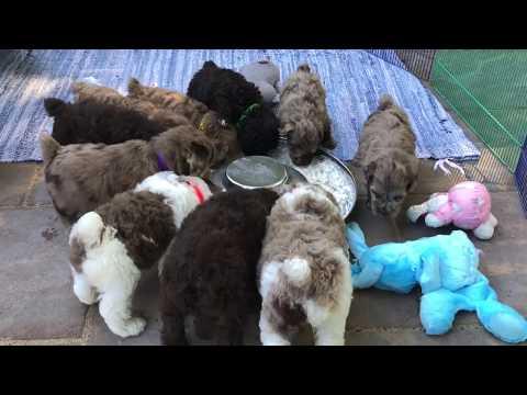 Autumn's schnoodle pups 10-1-19
