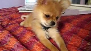 Is My Puppy A Pomeranian???