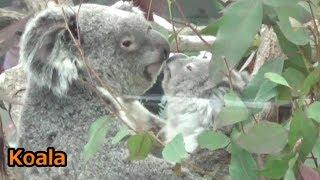 埼玉県こども動物自然公園のコアラのです。 Cute baby koala baby and m...
