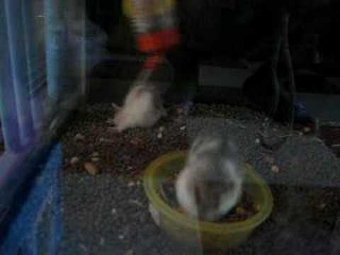 chuột Hamster làm xiếc