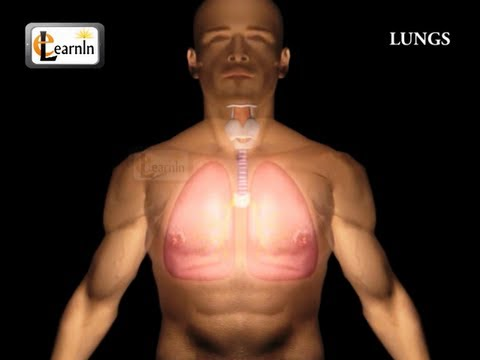 Human Lungs | Parts of Respiratory system | Human anatomy | 3D animation videos