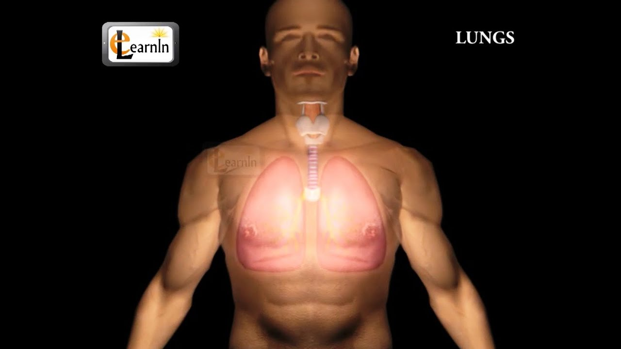 Human Lungs | Parts of Respiratory system | Human anatomy | 3D ...