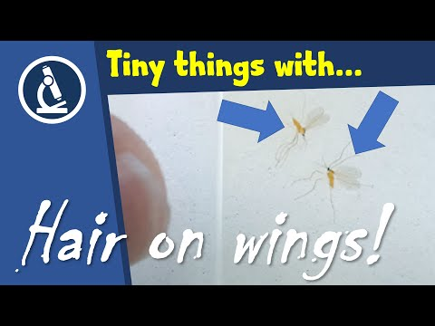 🔬 096 - How To Make A PERMANENT SLIDE Of Small Insects For Microscopy