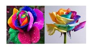 Китайская радужная Роза. Как проращивать семена розы