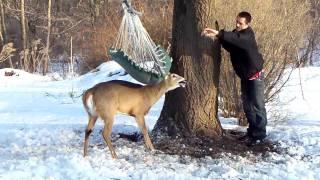 Deer stuck in hammock (part 2)