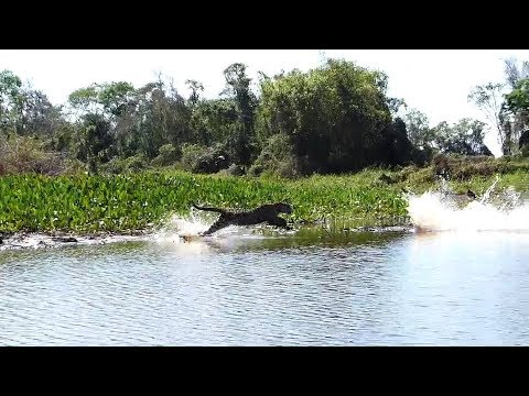 Jaguar Hunting Crocodiles