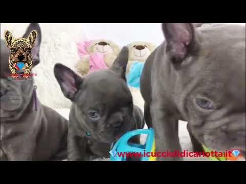 I Cuccioli Di Carlotta Bulldog Francese Blu Occhi Azzurri Youtube