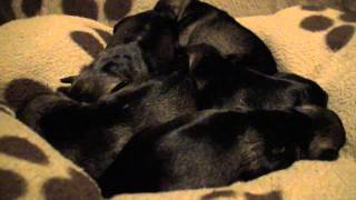 Cute Miniature Schnauzer Puppies: Birth To 3 Weeks Old
