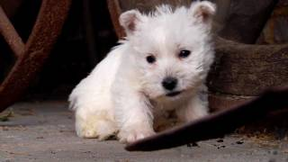 Puppy: West Highland White Terrier