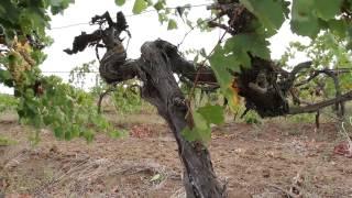 видео Захарьин - вино с крымским характером