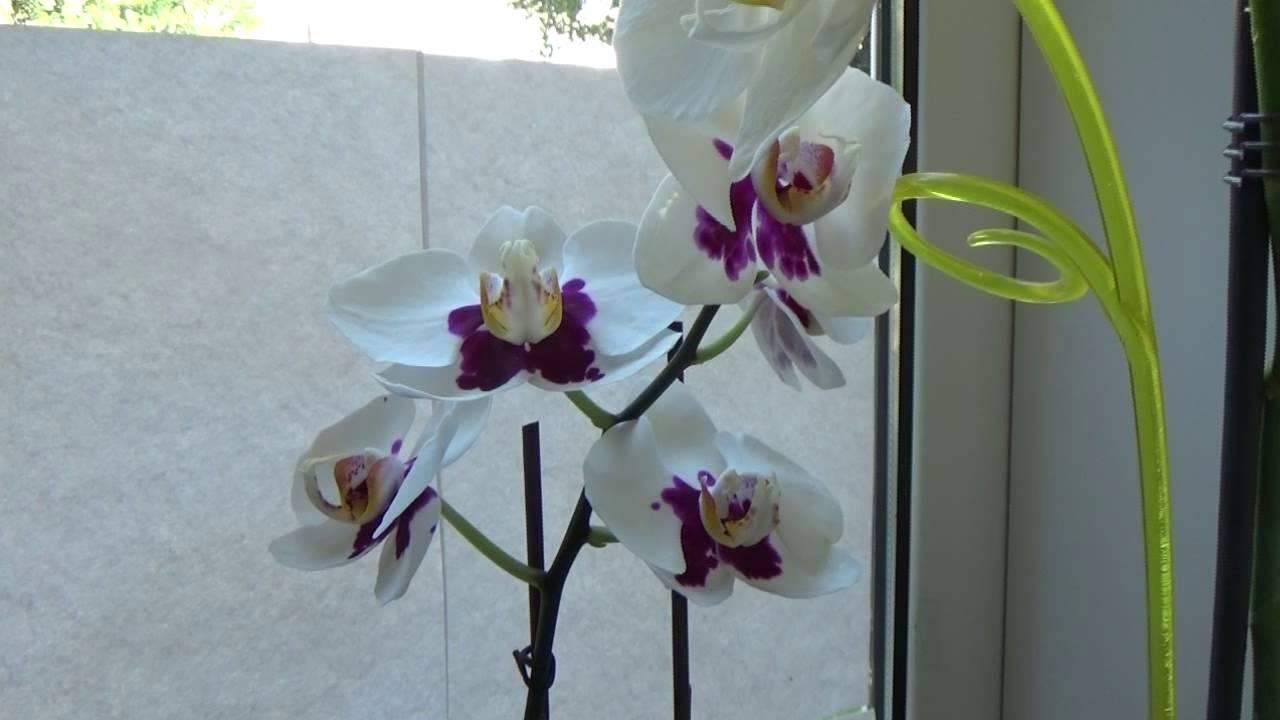 будет второй фото деток орхидей на цветоносе посмотрим пятнадцать