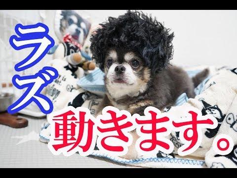 ラズ、動きます。/ Playing And Running Dog【犬】