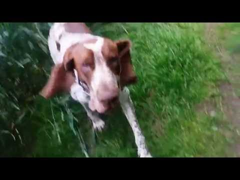 Bracco Italiano having fun