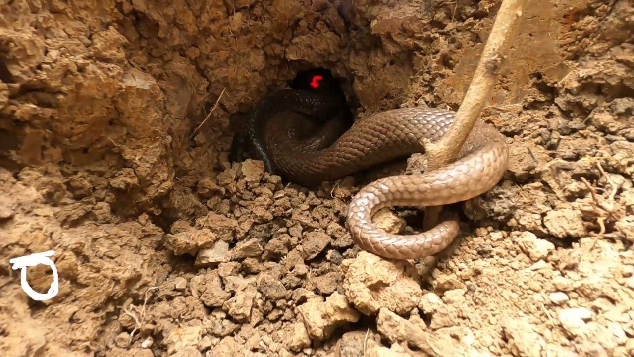 05 Giờ Chiến Đấu Với Cặp Hổ Mang Hai Màu Ẩn NáoTrong Gò Keo (Hunter Cobra)